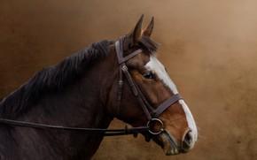 Picture look, face, horse, horse, portrait, chestnut