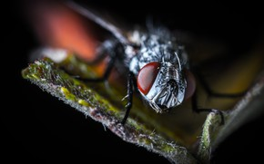 Picture Macro, Fly, Eyes, Insect, Macro, Fly, Insect, Paws, Close-Up, Egor Kamelev, by Egor Kamelev, Fly …