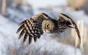 Picture winter, snow, flight, nature, pose, background, owl, bird, wings, flies, stroke, the scope, owl, motley, …