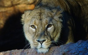 Picture look, face, light, portrait, lioness