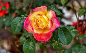 Picture flower, leaves, nature, rose