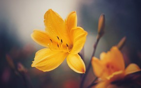 Picture macro, yellow, petals, bokeh, Daylilies