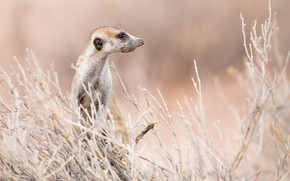 Picture South Africa, Meerkat, Kgalagadi Transfrontier Park, Auob riverbed