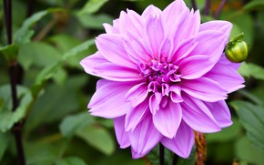 Picture flower, macro, background, pink, lilac, Dahlia