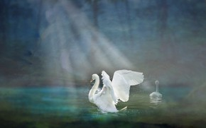 Picture light, bird, Swan, pond