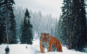 Picture winter, forest, snow, tiger, ate, walk