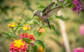 Picture flight, flowers, Hummingbird