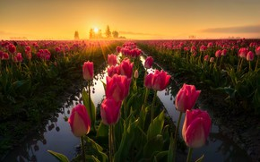 Picture field, water, the sun, rays, light, sunset, flowers, reflection, dawn, spring, tulips, pink, buds, a …