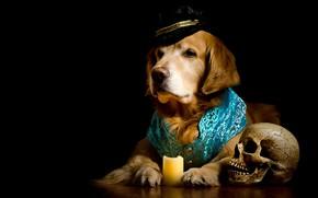 Picture skull, portrait, candle, dog, hat, costume, black background, Golden, photoshoot, dog, vest, Retriever, composition, elegant, …