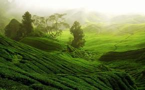 Picture Greens, Hills, Tea