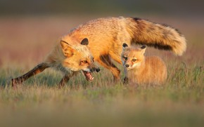 Picture pose, glade, baby, mouth, Fox, Fox, a couple, mom, Fox