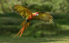 Picture flight, nature, background, bird, wings, parrot, flies, bokeh, flying, Ara, the scope, green Ara