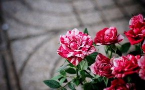 Picture roses, bouquet, red, pink, grey background, bokeh, striped