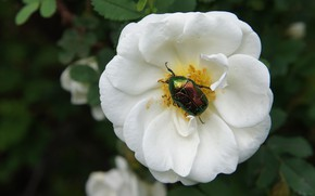 Picture white, flower, leaves, green, the dark background, Bush, beetle, briar, insect, brilliant, brantovka Golden