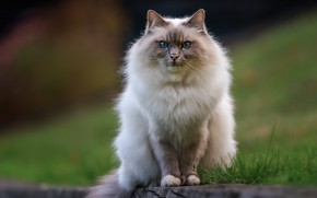 Picture cat, cat, look, nature, pose, muzzle, tail, sitting, ragdoll