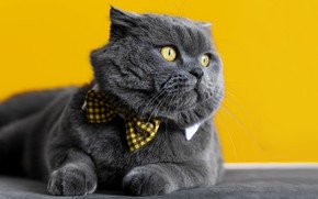 Picture cat, grey, bow, yellow background, British, bow tie