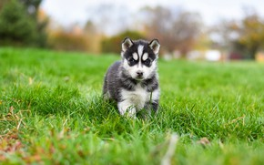 Picture grass, pose, background, glade, dog, baby, puppy, walk, face, husky, Siberian husky