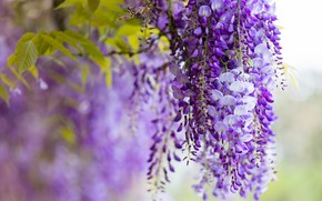 Picture flowers, branches, nature, color, beauty, spring, garden, purple, light background, brush, flowering, cascade, lilac, beautiful, …