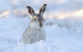 Picture winter, snow, hare