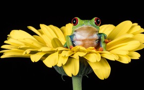 Picture flower, look, yellow, frog, petals, black background, green, calendula, red-eyed tree frog