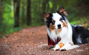 Picture forest, look, face, toy, the game, portrait, dog, puppy, lies, shawl, the border collie, odd-eyed