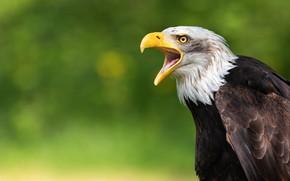 Picture bird, portrait, beak, eagle, Creek, green background, predatory, bokeh, bald eagle