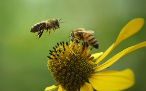 Picture flower, summer, nature, bees