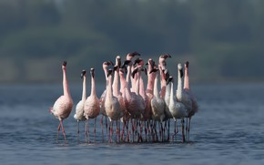 Picture birds, Flamingo, nature