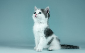 Picture cat, look, pose, kitty, background, blue, black and white, portrait, baby, cute, kitty, sitting, photoshoot, …