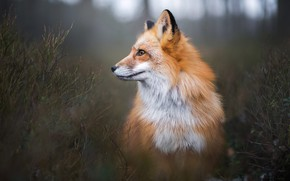 Picture forest, look, branches, nature, pose, background, thickets, dark, Fox, profile, red, the bushes, Fox, bokeh