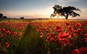 Picture field, flowers, sunrise, tree, dawn, Maki, morning