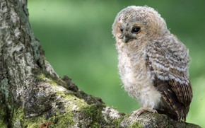 Picture look, green, background, tree, owl, bird, sitting, chick, owlet, owlet, motley