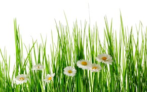 Picture greens, summer, grass, flowers, chamomile, white background
