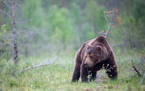 Picture autumn, forest, summer, grass, look, face, drops, nature, pose, rain, glade, bear, bear, brown