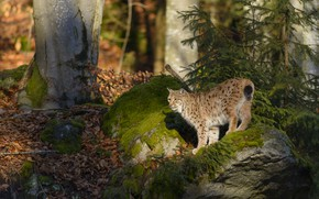 Picture forest, look, light, trees, branches, nature, pose, stones, moss, ate, lynx, needles