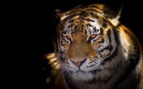 Picture look, face, light, tiger, portrait, black background