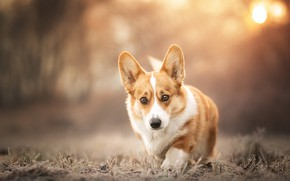 Picture look, dog, face, bokeh, doggie, Welsh Corgi