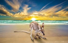 Picture sea, beach, the sky, look, the sun, clouds, sunset, pose, shore, kangaroo, surf, cub, kangaroo