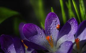 Picture drops, macro, ladybug, beetle, petals, crocuses, stamens, saffron