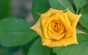 Picture leaves, rose, petals, yellow