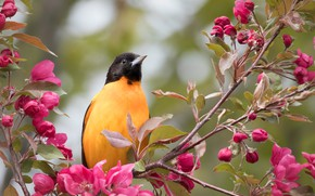 Picture branches, bird, Apple, flowering, flowers, Baltimore colored troupial, Baltimore Oriole