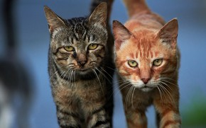 Picture look, cats, background, cats, a couple, faces, koteyki, two cats