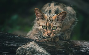 Picture cat, look, face, nature, pose, the dark background, kitty, grey, tree, baby, log, kitty, striped, …