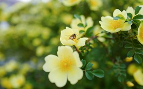 Picture leaves, flowers, yellow, nature, bee, background, branch, garden, briar, insect, flowering, the bushes, blurred background, ...