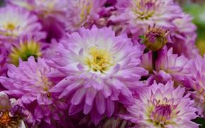 Picture petals, flowering, dahlias
