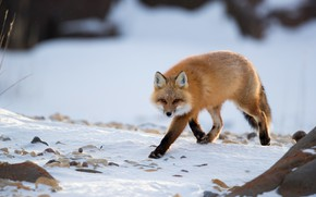 Picture winter, look, snow, Fox, red, walk, Fox