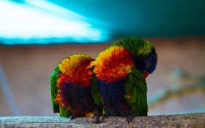 Picture birds, parrot, pair, parrots, a couple, two, blue background, Lori, bright plumage, perch