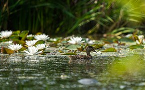 Picture grass, water, flowers, lake, glare, pond, reflection, bird, shore, grey, white, duck, water lilies, duck, …
