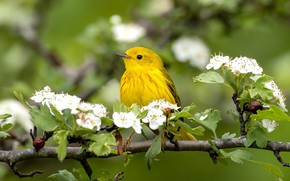 Picture flowers, bird, branch, spring, flowering, yellow, bokeh, a woodland songster