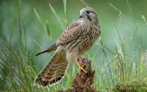 Picture grass, bird, Falcon, bitches, predatory, mining, Kestrel